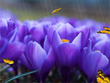 Crocus Screensaver - Free Screensavers