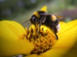 Bee on yellow flower - insects wallpaper