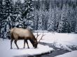 Winter stag - winter wallpaper
