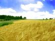 Golden field - scenery wallpaper