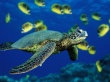 Green sea turtle - reptiles wallpaper