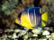 Blue Angelfish - fish wallpaper