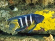 Eastern blue devil - fish wallpaper