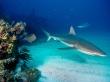 Grey reef sharks - fish wallpaper