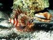 On patrol lionfish - fish wallpaper