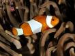 Percula clownfish - fish wallpaper