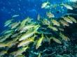 Yellow Goatfish - fish wallpaper