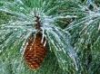 Corneal tree - winter wallpaper