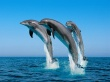 Bottlenose Dolphins Wallpaper Preview