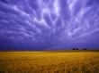Field of Amber Grains - scenery wallpaper