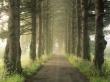 Pine Drive - scenery wallpaper