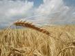 German grain field - scenery wallpaper