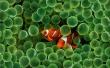 Clown Fish - fish wallpaper