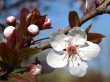 Plum Blossoms - spring wallpaper