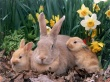 Palomino Rabbits - easter wallpaper
