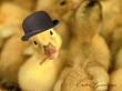 Ducky Greetings - easter wallpaper