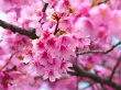 Cherry Blossom - spring wallpaper