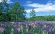 Purple Galde - scenery wallpaper