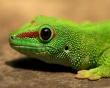 Gecko - reptiles wallpaper