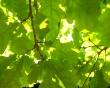 Green Oak Leaf - summer wallpaper