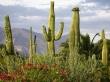 Saguaro Cacti - scenery wallpaper