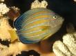 Angelfish - fish wallpaper