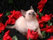 Cavalier of Roses - cats wallpaper