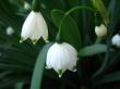 Bell Snowdrops - spring wallpaper