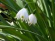 Quiet Snowdrops - spring wallpaper