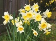 Spring Daffodils Wallpaper Preview