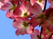 Dogwood - spring wallpaper