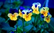 Pansies - flowers wallpaper