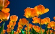 Affectionate Tulips Wallpaper Preview