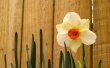 Easter Daffodil - easter wallpaper