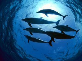 Dolphins swimming - fish wallpaper