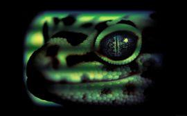 Leopard gecko head - reptiles wallpaper