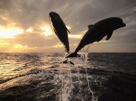 Dolphins jumping - fish wallpaper