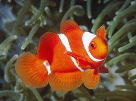 White and orange fish - fish wallpaper