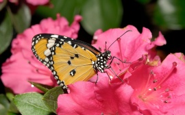 Butterfly Pink Flower Wallpaper