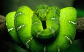 Tree Snake - reptiles wallpaper