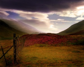 Scottish Heather - scotland wallpaper