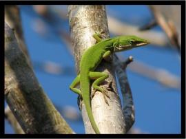Green Lizzard - reptiles wallpaper