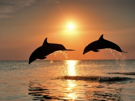 Bottlenose Dolphins - fish wallpaper