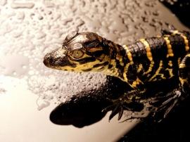 Reptile - reptiles wallpaper