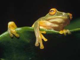 Frog Siesta - reptiles wallpaper