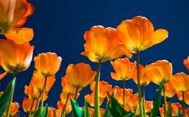 Affectionate Tulips Wallpaper