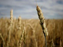 Crop field - summer wallpaper