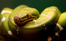 Green snake - reptiles wallpaper