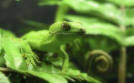 Lizzard in green - reptiles wallpaper