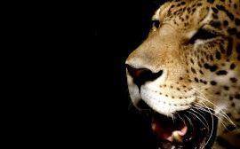Leopard head - cats wallpaper